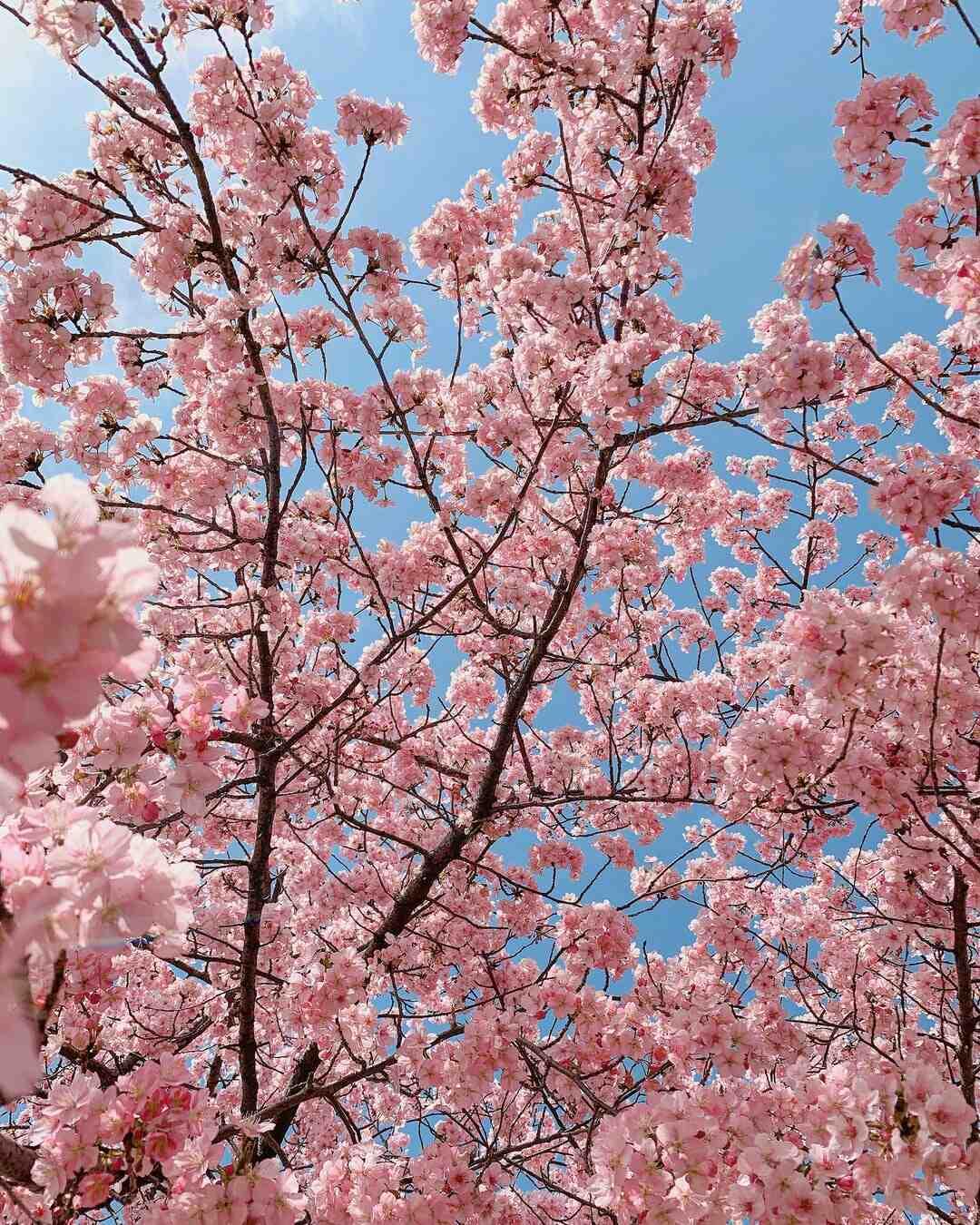 Comment faire pousser un cerisier à fleurs