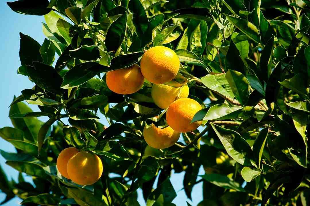 Comment faire pousser un oranger