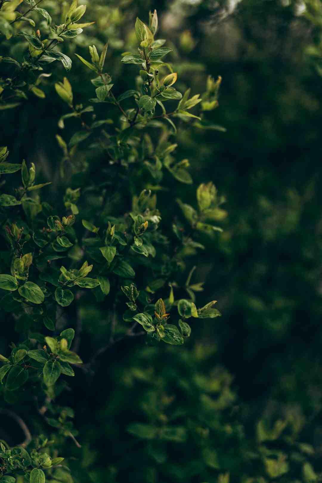 Comment tailler un arbuste