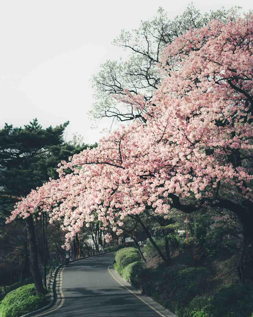 Où trouver des cerisier Japon ?