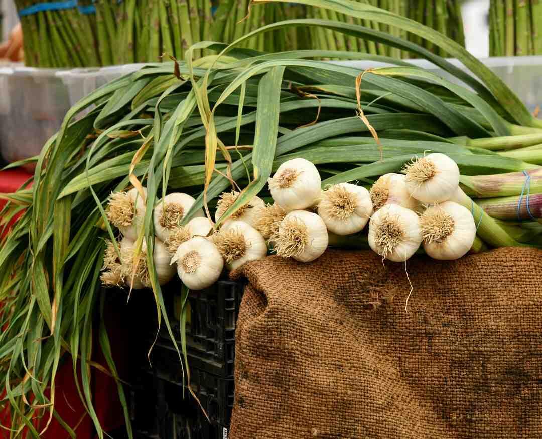 Comment cultiver de l'ail