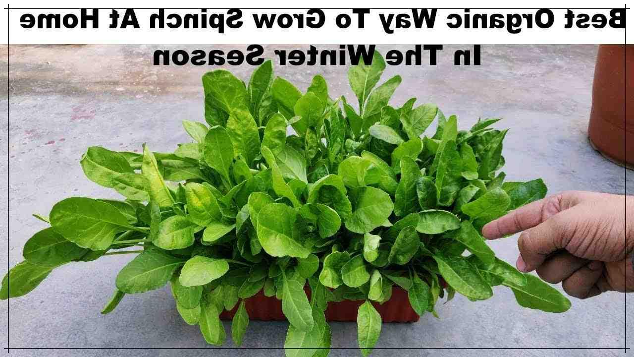 Comment faire pousser des épinards