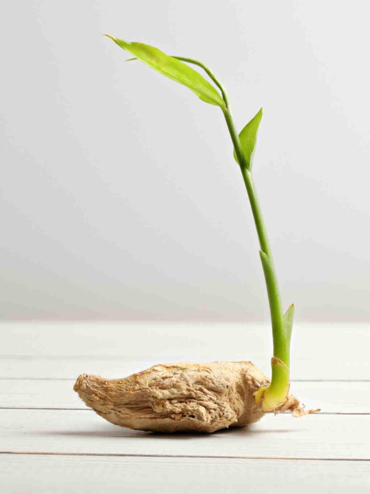 Comment planter du gingembre