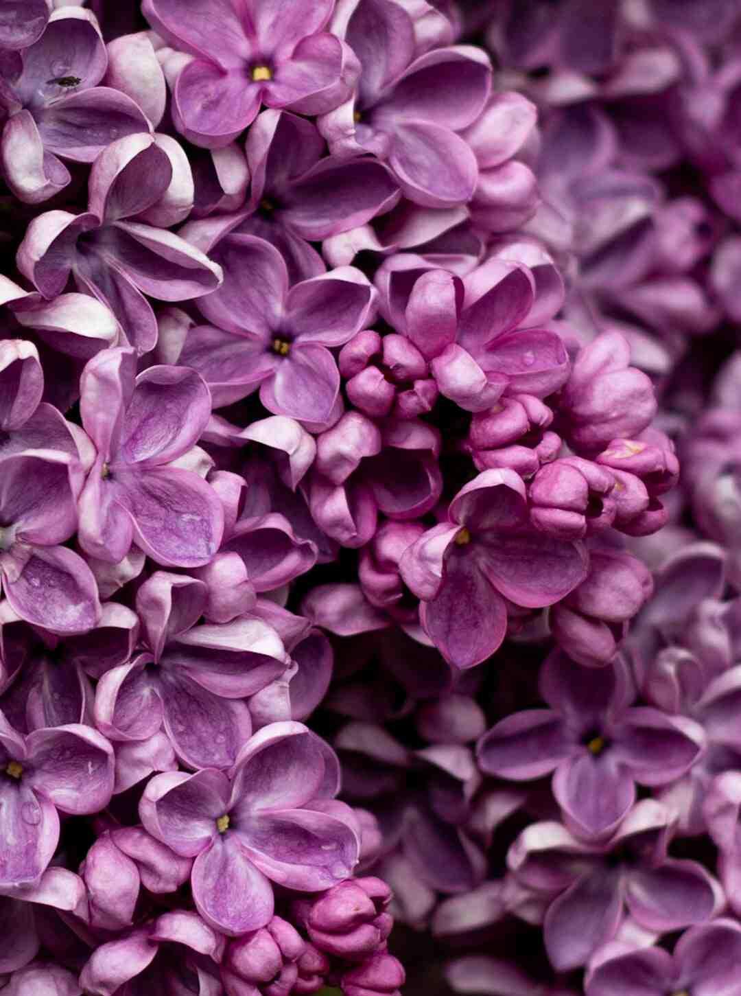 Quand fleurit le lilas ?