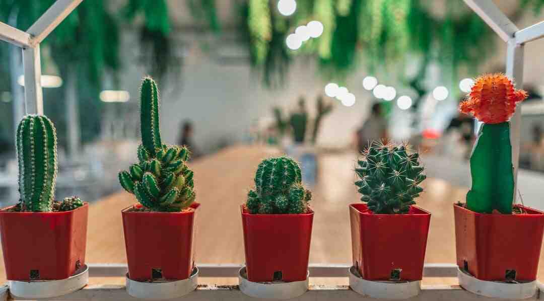 Comment arroser les cactus et succulentes ?
