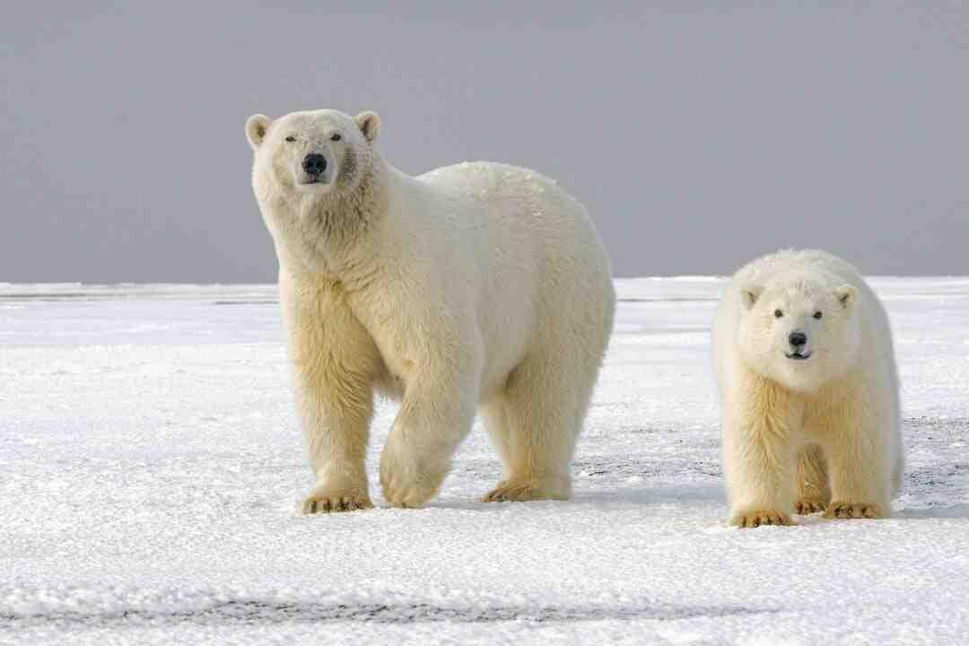 Comment conserver l'ail des ours