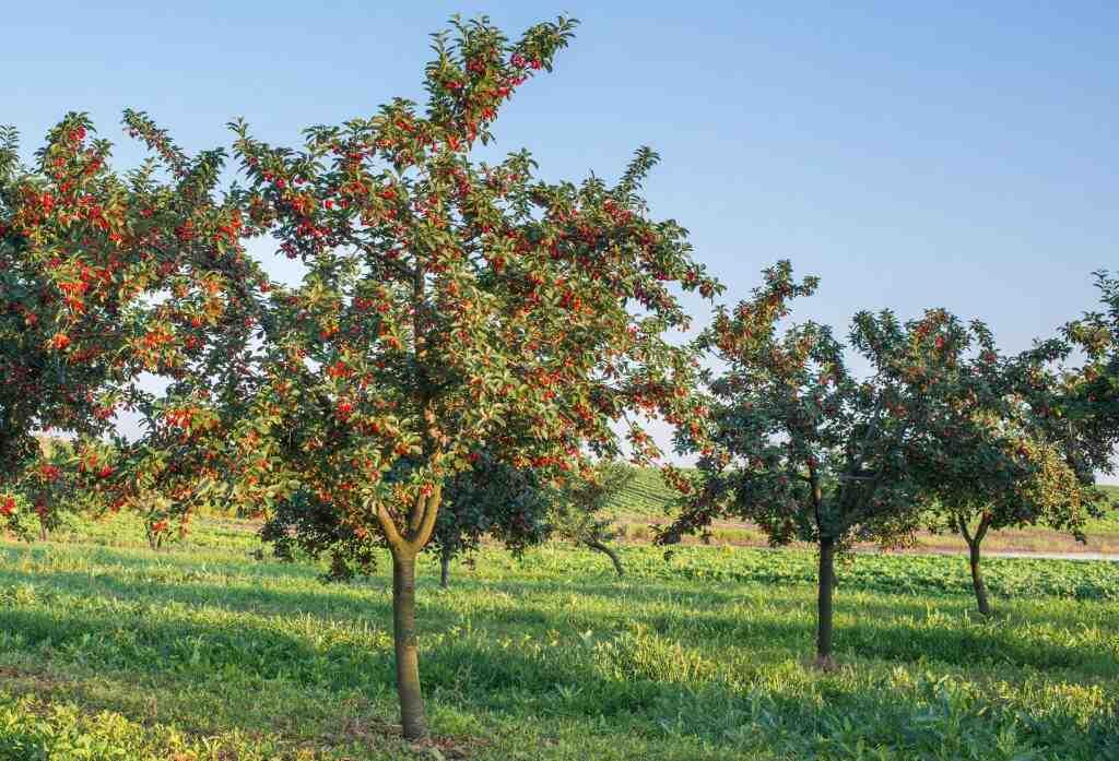 Comment planter un cerisier