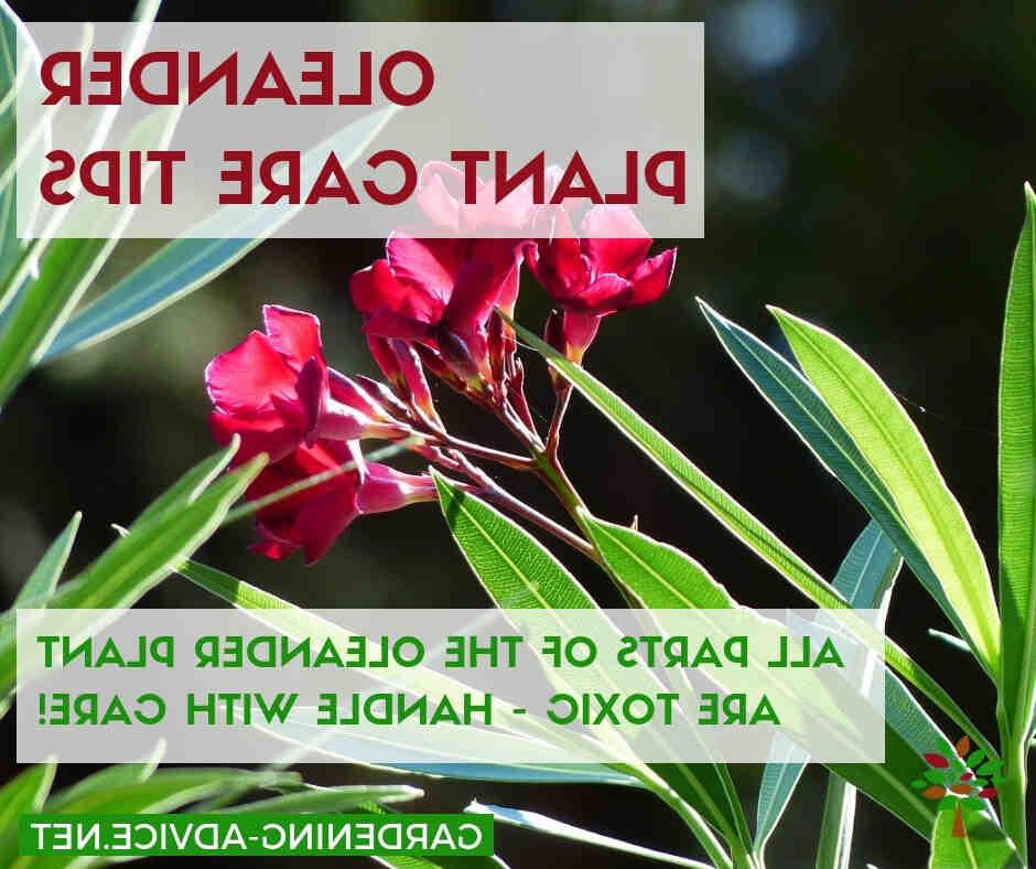 Comment soigner les lauriers roses ?