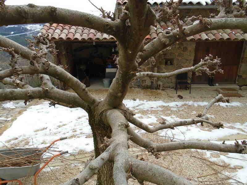 Comment tailler un arbre Albizia ?