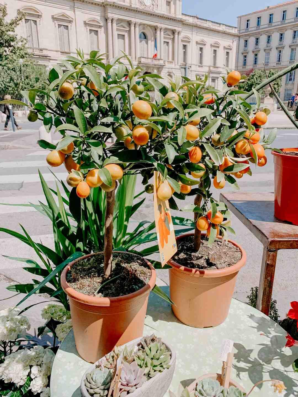 Kumquat comment le manger