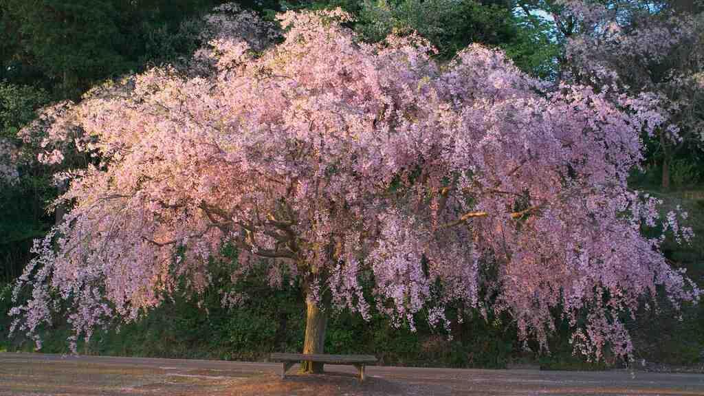 Quel cerisier pour petit jardin ?